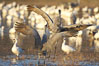 Sandhill cranes posture and socialize. Bosque del Apache National Wildlife Refuge, Socorro, New Mexico, USA. Image #21887