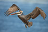 Brown pelican in flight.  The wingspan of the brown pelican is over 7 feet wide. The California race of the brown pelican holds endangered species status.  In winter months, breeding adults assume a dramatic plumage. La Jolla, California, USA. Image #22142