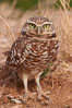 Burrowing owl (Western North American race hypugaea). This 10-inch-tall burrowing owl is standing besides its burrow. These burrows are usually created by squirrels, prairie dogs, or other rodents and even turtles, and only rarely dug by the owl itself. Salton Sea, Imperial County, California, USA. Image #22477