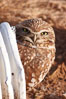 A burrowing owl peeks out of a drainage pipe.  This 10-inch-tall burrowing owl is standing besides its burrow. These burrows are usually created by squirrels, prairie dogs, or other rodents and even turtles, and only rarely dug by the owl itself. Salton Sea, Imperial County, California, USA. Image #22479