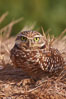 Burrowing owl (Western North American race hypugaea). This 10-inch-tall burrowing owl is standing besides its burrow. These burrows are usually created by squirrels, prairie dogs, or other rodents and even turtles, and only rarely dug by the owl itself. Salton Sea, Imperial County, California, USA. Image #22480