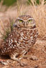 Burrowing owl (Western North American race hypugaea). This 10-inch-tall burrowing owl is standing besides its burrow. These burrows are usually created by squirrels, prairie dogs, or other rodents and even turtles, and only rarely dug by the owl itself. Salton Sea, Imperial County, California, USA. Image #22484