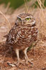 Burrowing owl (Western North American race hypugaea). This 10-inch-tall burrowing owl is standing besides its burrow. These burrows are usually created by squirrels, prairie dogs, or other rodents and even turtles, and only rarely dug by the owl itself. Salton Sea, Imperial County, California, USA. Image #22486