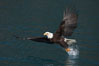 Bald eagle makes a splash while in flight as it takes a fish out of the water. Kenai Peninsula, Alaska, USA. Image #22584