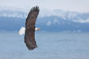 Bald eagle in flight, Kachemak Bay and the Kenai Mountains in the background. Kachemak Bay, Homer, Alaska, USA. Image #22586