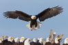 Bald eagle spreads its wings to land amid a large group of bald eagles. Kachemak Bay, Homer, Alaska, USA. Image #22588