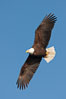 Bald eagle in flight, wing spread, soaring. Kachemak Bay, Homer, Alaska, USA. Image #22604