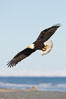 Bald eagle in flight, banking over Kachemak Bay and beach. Kachemak Bay, Homer, Alaska, USA. Image #22620