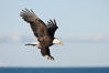 Bald eagle in flight, Kachemak Bay in background. Kachemak Bay, Homer, Alaska, USA. Image #22629