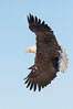 Bald eagle in flight, wing spread, soaring. Kachemak Bay, Homer, Alaska, USA. Image #22636