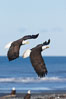 Two bald eagles in flight, banking, wings spread, over beach and Kachemak Bay. Kachemak Bay, Homer, Alaska, USA. Image #22646