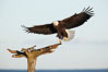 Bald eagle in flight, spreads its wings wide to slow before landing on a wooden perch. Kachemak Bay, Homer, Alaska, USA. Image #22651