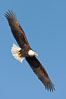 Bald eagle in flight, wing spread, soaring. Kachemak Bay, Homer, Alaska, USA. Image #22659