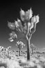 Joshua tree, sunrise, infrared. Joshua Tree National Park, California, USA. Image #22888
