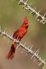 Northern cardinal, male. Amado, Arizona, USA. Image #22891