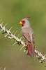 Pyrrhuloxia, male. Amado, Arizona, USA. Image #22894
