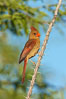 Northern cardinal, female. Amado, Arizona, USA. Image #22897