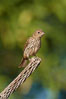 House finch, female. Amado, Arizona, USA. Image #22909