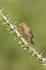 House finch, immature. Amado, Arizona, USA. Image #22919