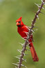 Northern cardinal, male. Amado, Arizona, USA. Image #22923