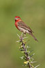 House finch, male. Amado, Arizona, USA. Image #22927