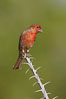 House finch, male. Amado, Arizona, USA. Image #22977