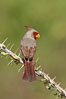 Pyrrhuloxia, male. Amado, Arizona, USA. Image #23013
