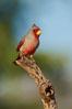 Pyrrhuloxia, male. Amado, Arizona, USA. Image #23017