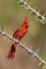 Northern cardinal, male. Amado, Arizona, USA. Image #23043