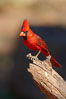 Northern cardinal, male. Amado, Arizona, USA. Image #23076