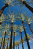 Palm trees and blue sky, downtown Phoenix. Phoenix, Arizona, USA. Image #23180