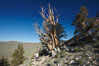 A hiker admires an ancient bristlecone pine tree, on the Methuselah Walk in the Schulman Grove in the White Mountains at an elevation of 9500 above sea level.  The oldest bristlecone pines in the world are found in the Schulman Grove, some of them over 4700 years old. Ancient Bristlecone Pine Forest. White Mountains, Inyo National Forest, California, USA. Image #23232