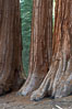 Giant sequoia trees, roots spreading outward at the base of each massive tree, rise from the shaded forest floor. Mariposa Grove, Yosemite National Park, California, USA. Image #23257