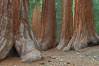 Giant sequoia trees, roots spreading outward at the base of each massive tree, rise from the shaded forest floor. Mariposa Grove, Yosemite National Park, California, USA. Image #23258