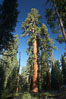A giant sequoia tree, soars skyward from the forest floor, lit by the morning sun and surrounded by other sequioas.  The massive trunk characteristic of sequoia trees is apparent, as is the crown of foliage starting high above the base of the tree. Mariposa Grove, Yosemite National Park, California, USA. Image #23261