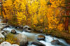 Aspens turn yellow in autumn, changing color alongside the south fork of Bishop Creek at sunset. Bishop Creek Canyon, Sierra Nevada Mountains, California, USA. Image #23323