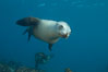 California sea lion, underwater at Santa Barbara Island.  Santa Barbara Island, 38 miles off the coast of southern California, is part of the Channel Islands National Marine Sanctuary and Channel Islands National Park.  It is home to a large population of sea lions. USA. Image #23418