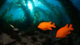 Garibaldi swims in the kelp forest, sunlight filters through towering giant kelp plants rising from the ocean bottom to the surface, underwater. Catalina Island, California, USA. Image #23419