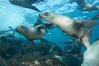 California sea lions, underwater at Santa Barbara Island.  Santa Barbara Island, 38 miles off the coast of southern California, is part of the Channel Islands National Marine Sanctuary and Channel Islands National Park.  It is home to a large population of sea lions. USA. Image #23422