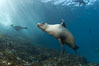 California sea lion, underwater at Santa Barbara Island.  Santa Barbara Island, 38 miles off the coast of southern California, is part of the Channel Islands National Marine Sanctuary and Channel Islands National Park.  It is home to a large population of sea lions. Santa Barbara Island, California, USA. Image #23433
