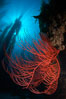 Red gorgonian on rocky reef, below kelp forest, underwater.  The red gorgonian is a filter-feeding temperate colonial species that lives on the rocky bottom at depths between 50 to 200 feet deep. Gorgonians are oriented at right angles to prevailing water currents to capture plankton drifting by. San Clemente Island, California, USA. Image #23444