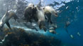 California sea lions, underwater at Santa Barbara Island.  Santa Barbara Island, 38 miles off the coast of southern California, is part of the Channel Islands National Marine Sanctuary and Channel Islands National Park.  It is home to a large population of sea lions. Santa Barbara Island, California, USA. Image #23447