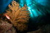 California sheephead and golden gorgonian, giant kelp forest filters sunlight in the background, underwater. Catalina Island, California, USA. Image #23449
