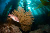 California sheephead and golden gorgonian, giant kelp forest filters sunlight in the background, underwater. Catalina Island, USA. Image #23472