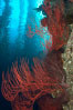 Red gorgonian on rocky reef, below kelp forest, underwater.  The red gorgonian is a filter-feeding temperate colonial species that lives on the rocky bottom at depths between 50 to 200 feet deep. Gorgonians are oriented at right angles to prevailing water currents to capture plankton drifting by. San Clemente Island, California, USA. Image #23487