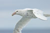 White nellie, the white morph of the southern giant petrel.  Southern giant petrel in flight. Falkland Islands, United Kingdom. Image #23678