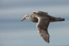 Southern giant petrel in flight.  The distinctive tube nose (naricorn), characteristic of species in the Procellariidae family (tube-snouts), is easily seen. Falkland Islands, United Kingdom. Image #23682