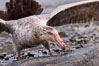 Northern giant petrel scavenging a fur seal carcass.  Giant petrels will often feed on carrion, defending it in a territorial manner from other petrels and carrion feeders. Right Whale Bay, South Georgia Island. Image #23698