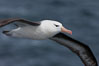 "Black-browed albatross in flight.  The black-browed albatross is a medium-sized seabird at 31�37"" long with a 79�94"" wingspan and an average weight of 6.4�10 lb. They have a natural lifespan exceeding 70 years. They breed on remote oceanic islands and are circumpolar, ranging throughout the Southern Oceanic. Falkland Islands, United Kingdom. Image #23715"