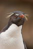 "Rockhopper penguin portrait, showing the yellowish plume feathers that extend behind its red eye in adults.  The western rockhopper penguin stands about 23"" high and weights up to 7.5 lb, with a lifespan of 20-30 years. New Island, Falkland Islands, United Kingdom. Image #23726"